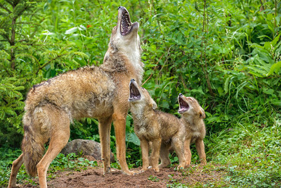 Coyotes and Their Howling Success