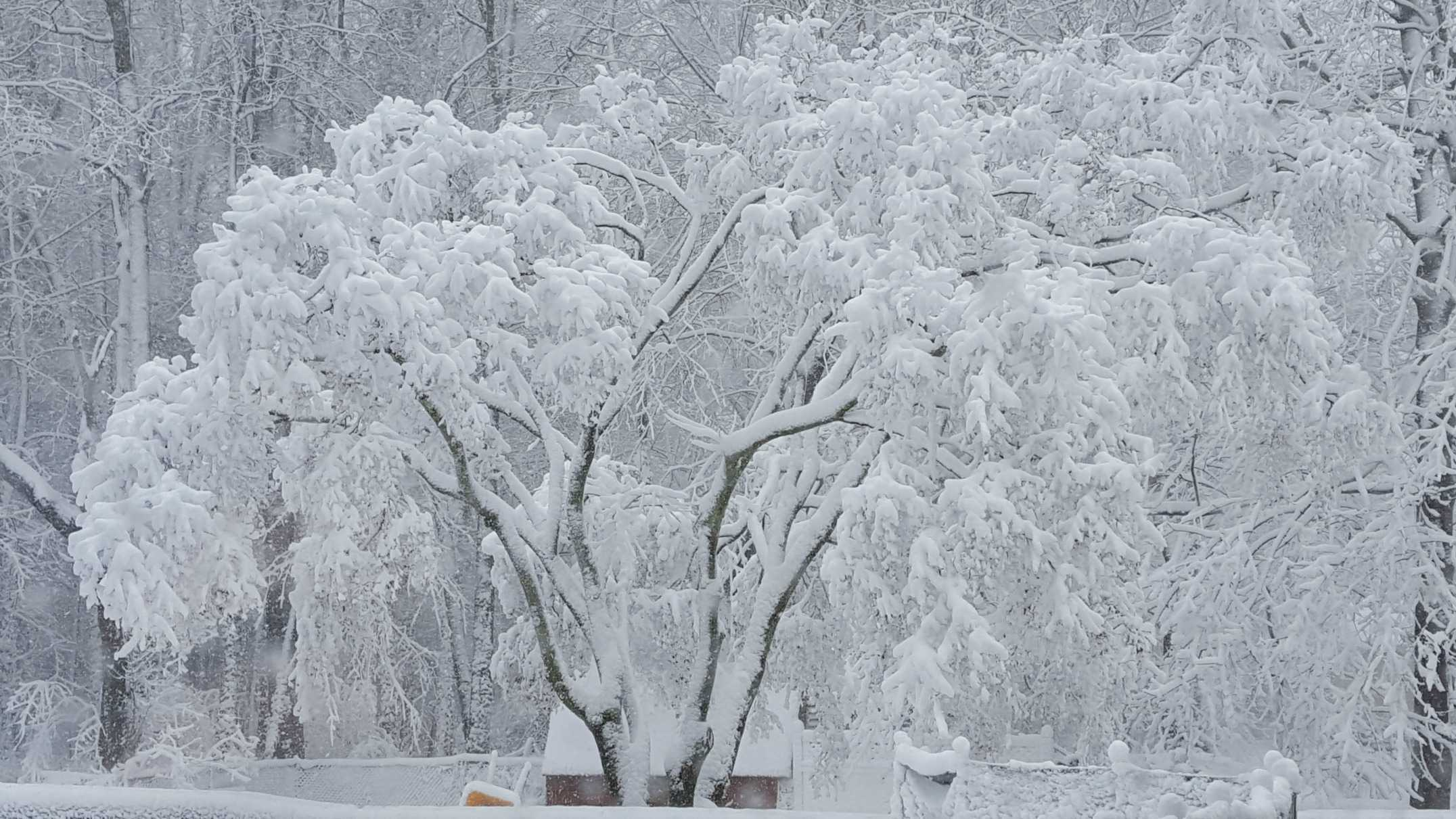 Mya took this photograph of the Chinese Maple tree in her backyard after a snowstorm. She used a smartphone.