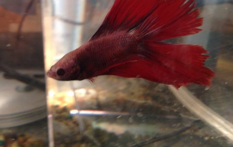 Are Beta Fish Always Aggressive?