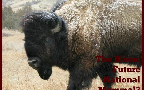 The Bison:  Future National Mammal?
