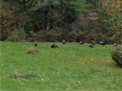 Are There Too Many Wild Turkeys in Maine?