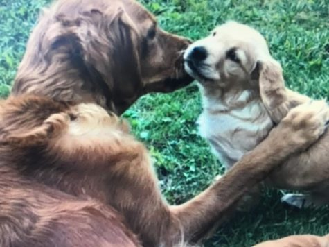 Golden Retriever mom gives her new puppy a kiss.