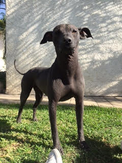 The Xoloitzquintle (cholo-SQUEEN-kleh) is a unique hairless dog from Mexico. It is one of the most ancient dog breeds in the Americas; it has been around since the time of the Aztecs. The Xoloitzquintle was revered by the Aztecs, as it was believed that it was a guide to the Underworld. This poochs name is Xolo.